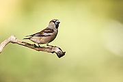 Hawfinch (Coccothraustes coccothraustes) perched on a branch. This finch has short tail and has a stong beak for cracking seeds such as cherry stones. It is found in woodlands throughout Europe and temperate Asia. Photographed in Israel in spring