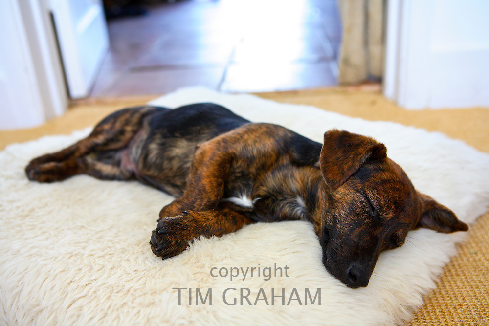 Black and tan Jack Russell terrier pedigree puppy sleeping in his bed, England, United Kingdom