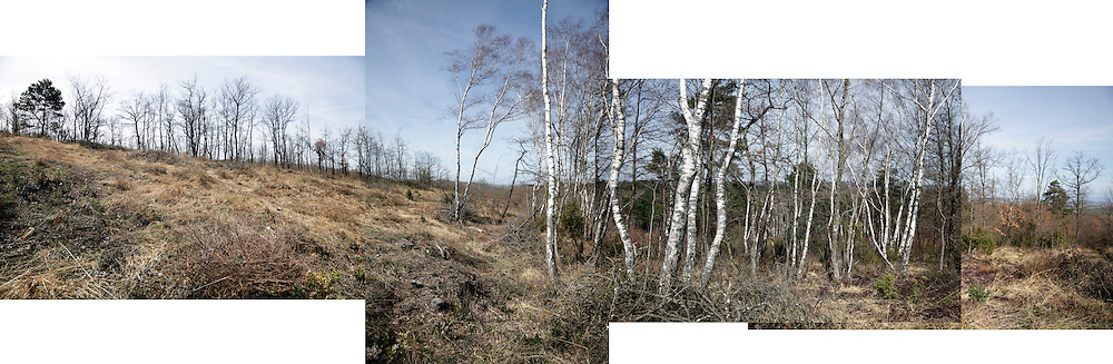 Silver Birch trees collage