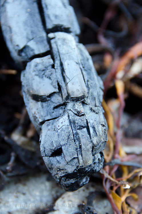 Charred wood - the remains of a fire on the beach at Hulls Cove, Maine