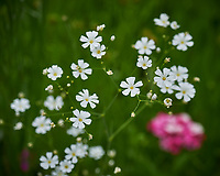 Baby's Breath flowers. Image taken with a Nikon Df camera and 70-300 mm lens