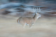 Whitetail deer (Odocoileus virginianus) buck running