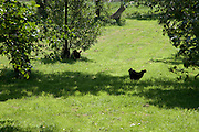 free range hens walking between the fruit trees