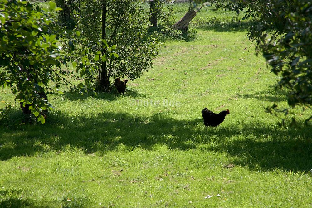free range hens walking between the fruit trees