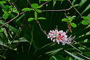Wild Azaleas on WIldwood Drive