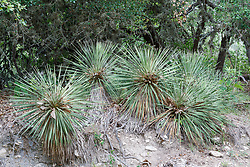 Stand of yucca, Block Creek Natural Area, Hill Country region, Texas, USA