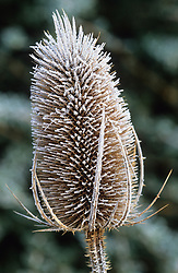 Hoar frost on teasel. Dipsacus fullonum