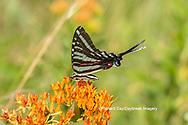 03006-00608 Zebra Swallowtail (Protographium marcellus) on Butterfly Milkweed (Asclepias tuberosa) Marion Co. IL