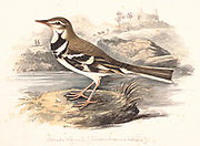 The forest wagtail (Dendronanthus indicus) is a medium-sized passerine bird in the wagtail family Motacillidae. It has a distinctive plumage that sets it apart from other wagtails and has the habit of wagging its tail sideways unlike the usual up and down movements of the other wagtail species. It is the only wagtail species that nests in trees. They are found mainly in forested habitats, breeding in the temperate parts of east Asia and wintering across tropical Asia from India to Indonesia. 18th century watercolor painting by Elizabeth Gwillim. Lady Elizabeth Symonds Gwillim (21 April 1763 – 21 December 1807) was an artist married to Sir Henry Gwillim, Puisne Judge at the Madras high court until 1808. Lady Gwillim painted a series of about 200 watercolours of Indian birds. Produced about 20 years before John James Audubon, her work has been acclaimed for its accuracy and natural postures as they were drawn from observations of the birds in life. She also painted fishes and flowers. McGill University Library and Archives
