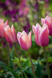 Tulipa 'Sanne' AGM