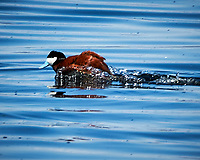 Ruddy Duck (Oxyura jamaicensis). Windy Gap Reservoir. Image taken with a Nikon D300 camera and 70-200 mm f/2.8 VR lens + 1.4x TC-E II teleconverter.