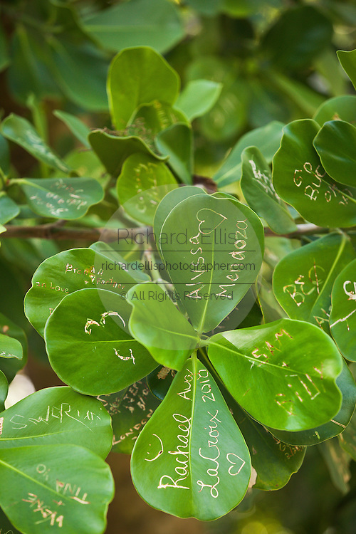 Names carved into the leaves of an autograph tree (clusia rosea) at the Key West Botanical Garden on Stock Island, Key West, Florida.