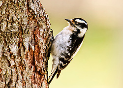 My first Downy Woodpecker Shot Of The Season