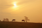 Horses at sunset, Shannon, Ireland