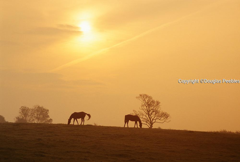 Horses at sunset, Shannon, Ireland