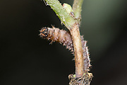 White admiral (Limenitis camilla) larva in distorted posture before emergence of parasitic wasp larva. Sussex, UK.