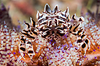 Zebra Crab on Fire Urchin<br /> <br /> Shot in Indonesia