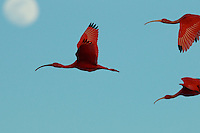 Scarlet Ibises (Eudocimus ruber) flying though the sky with the moon behind them in Delta Amacuro, Venezuela.