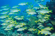 schoolmaster snappers, Lutjanus apodus, Davis Reef, <br /> Islamorada, Florida Keys ( Western Atlantic Ocean ) Florida Keys National Marine Sanctuary