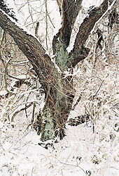 Oak tree in the woods after a snow storm