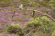 Hobby perched above boggy hunting grounds. Dorset, UK.