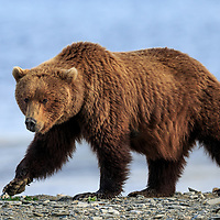 California Grizzly: Lost Icon of Home