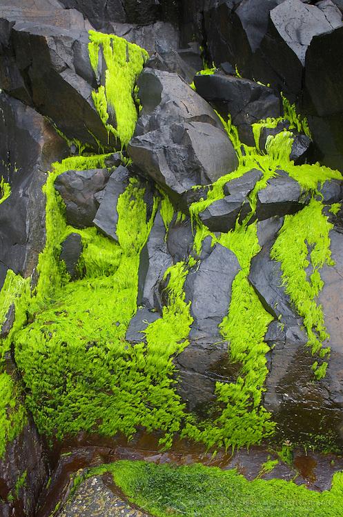 Sea moss on black volcanic rock, Cape Perpetua Oregon