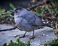 Gray Catbird. Image taken with a Nikon D5 camera and 600 mm f/4 VR lens (ISO 1600, 600 mm, f/5.6, 1/250 sec)