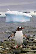 Adult gentoo penguin returning to land from the sea, stands wings spread to cool it wings. You can tell if a penguin is hot from swimming because its wings will be pink in color. A seagull stands on a iceberg in the background.