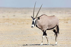 Oryx at Etosha National Park, Namibia, Africa