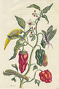 pepper Plant and butterfly from Metamorphosis insectorum Surinamensium (Surinam insects) a hand coloured 18th century Book by Maria Sibylla Merian published in Amsterdam in 1719