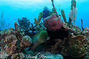 diver and green moray eel, Gymnothorax funebris, Turneffe Atoll, Belize, Central America ( Caribbean Sea )