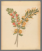 Loranthus N. Sp. [Moquiniella rubra] from a collection of ' Drawings of plants collected at Cape Town ' by Clemenz Heinrich, Wehdemann, 1762-1835 Collected and drawn in the Cape Colony, South Africa