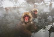 Snow monkeys (Macaca fuscata) bathing in a hotsrping, Jigokudani, Yamanouchi, Japan