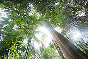 Huge trees inside Surui territory primary rainforest<br /><br />An Amazonian tribal chief Almir Narayamogo, leader of 1350 Surui Indians in Rondônia, near Cacaol, Brazil, with a $100,000 bounty on his head, is fighting for the survival of his people and their forest, and using the world's modern hi-tech tools; computers, smartphones, Google Earth and digital forestry surveillance. So far their fight has been very effective, leading to a most promising and novel result. In 2013, Almir Narayamogo, led his people to be the first and unique indigenous tribe in the world to manage their own REDD+ carbon project and sell carbon credits to the industrial world. By marketing the CO2 capacity of 250 000 hectares of their virgin forest, the forty year old Surui, has ensured the preservation, as well as a future of his community. <br /><br />In 2009, the four clans and 25 Surui villages voted in favour of a total moratorium on logging and the carbon credits project. <br /><br />They still face deforestation problems, such as illegal logging, and gold mining which causes pollution of their river systems