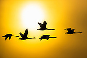 Five trumpeter swans (Cygnus buccinator) are rendered in silhouette as they fly in the bright golden sky against the sun in the Skagit Valley of Washington state. While most breed in the northern reaches of Canada and Alaska, a large population winters in northern Washington state. Trumpeter Swans average more than 5 feet (152 cm) in length and can weigh up to 30 pounds (13 kg), making them the longest and heaviest living bird native to North America.