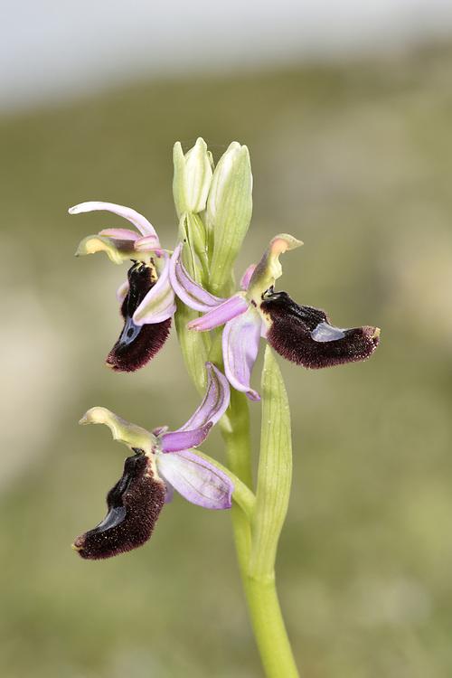 Bertoloni's Bee Orchid - Ophrys bertolonii