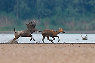 A stag, Père David's deer, or Milu, Elaphurus davidianus, chasing a female in the water of the Yangtze river in Hubei Tian'ezhou Milu National Nature Reserve, Shishou, Hubei, China. The dominant harem-keeping stag in the herd.