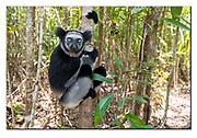 Indri in the forest of Palmarium Nature Reserve, Madagascar. Nikon D850, 18-35mm @ 35mm, f4.5, EV-0.33, 1/125sec, ISO400, SB900 fill-in flash, Manual modus