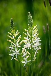 Camassia leichtlinii 'Alba' growing in long grass