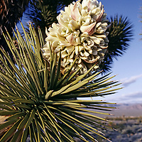 Blooming Joshua trees grow in the Spring Mountains.