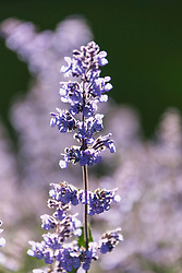 Close-up of catmint flowers, Stockholm, Sweden