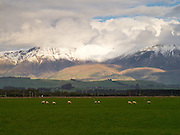 Sheep graze in a pasture/paddock, with sunset reflecting off the Takitimu Mountains, Southland, New Zealand; Sept 2012
