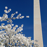 White cherry blossoms in bloom frame the Washington Monument against a deep blue sky. With copyspace.