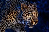 Territorial male leopard (Panthera pardus) at dusk, Inyati Private Game Reserve in the west of the Kruger Nationa Park, South Africa<br /> <br /> Maennlicher Leopard (Panthera pardus) aus dem Inyati Private Game Reserve im Westen des Krueger Nationalparks zu Beginn der Regenzeit im November