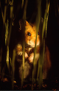 Deutschland, DEU, Cuxhaven: Goldhamster (Mesocricetus auratus) bei der nächtlichen Suche nach Futter in einem Feld. Goldhamster sind Nachttiere.   Germany, DEU, Cuxhaven: Golden Hamster (Mesocricetus auratus) at night in a field searching for food, on the alert, Golden Hamsters are nocturnal animals.  