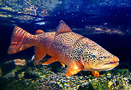 Brown Trout<br /> <br /> Patrick Clayton/Engbretson Underwater Photography