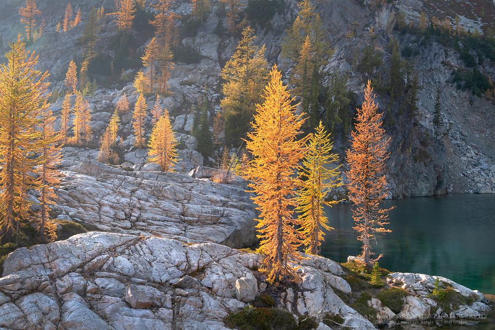 Subalpine Larches (Larix lyallii) in golden autumn color. Stiletto Lake, North Cascades National Park Washington