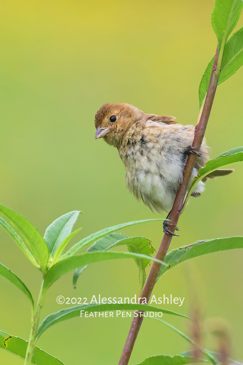 Young indigo bunting, Passerina cyanea, perched on tall wildflower stalk in tallgrass prairie setting. Image placed as semifinalist in Denver Audubon Society 2017 Share the View competition.