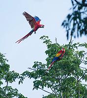 Scarlet Macaws, Ara macao, in a tree near Punta Leona, Costa Rica